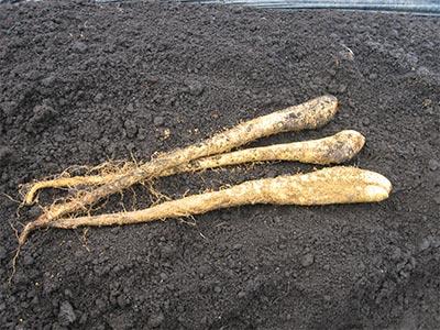 掘りたての自然薯