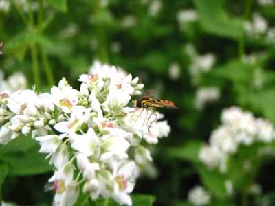 7月9日蕎麦の花につく虫