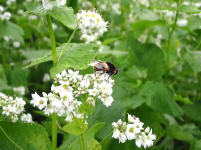 7月9日蕎麦の花につく虫2
