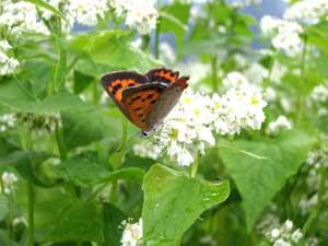 7月9日蕎麦の花につく蝶